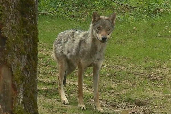 Le loup est-il en Corrèze ? Une cellule de veille vient en tout cas d'y être installée.