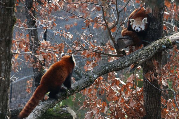 La femelle panda roux Mushu, de face, rencontrait le mâle Ibet en janvier 2019 au Parc Animalier d'Ardes-Sur-Couze dans le Puy-de-Dôme. Depuis dimanche 3 mars, plus de nouvelles de la jeune femelle.