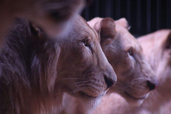31 communes de Paca ont pris position contre l'installation de cirques d'animaux sauvages.