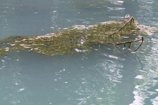 Les algues prolifèrent dans la Norges avant de se décomposer.