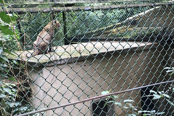 Dakar est un guépard trouvé dans le Périgord et accueilli depuis plusieurs années au Refuge de l'Arche.