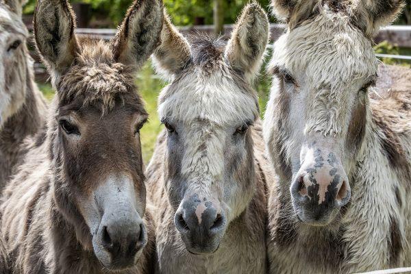 Grâce au refuge de l'ADADA, près d'Ambert (Puy-de-Dôme), plus de 300 ânes vivent désormais une vie paisible. (Photo d'illustration)