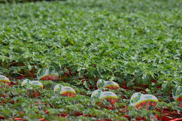 Les plants potagers sont depuis le 1er avril considérés comme des produits de « première nécessité » a annoncé mercredi la secrétaire d'État auprès du ministre de l'Économie et des finances.