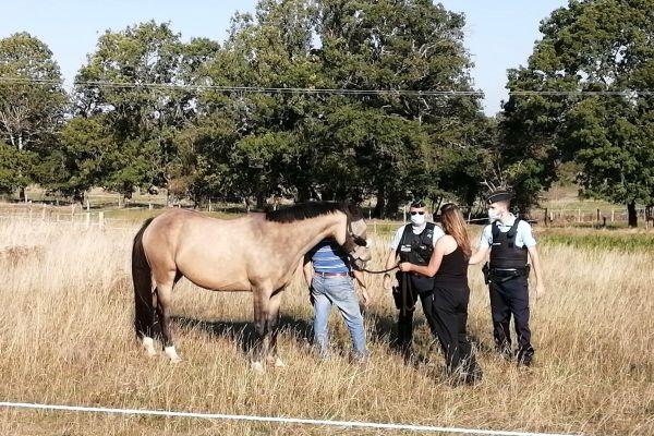 Dans le Cantal, des patrouilles de gendarmes vont à la rencontre des propriétaires de chevaux.
