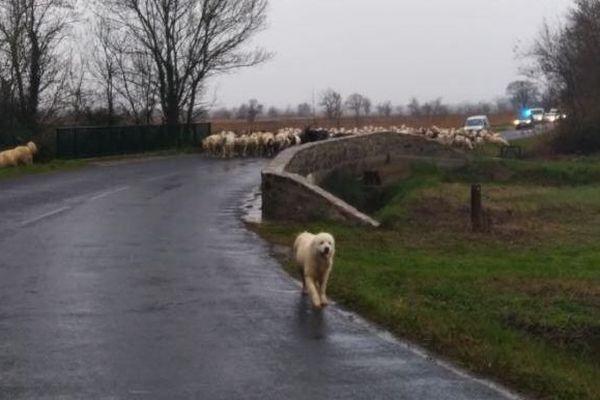 Les brebis sont escortées par des policiers pour traverser la route à hauteur de Vinassan (Aude), le 22 janvier.