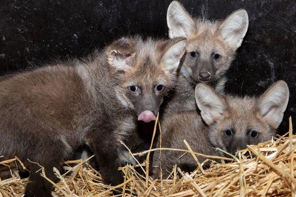 Les trois louveteaux nés à la mi-décembre au zoo de Mulhouse.