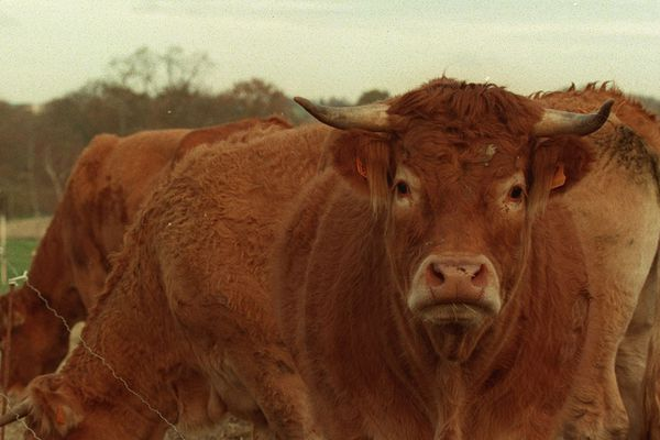 Vaches Limousines