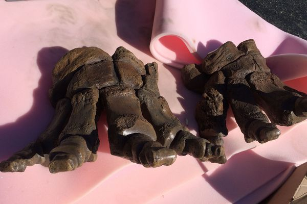 Les pieds du mammouth.