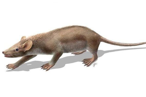 Reconstitution de Spinolestes xenarthrosus basée sur le fossile exceptionnellement bien préservé découvert à Las Hoyas. L'animal mesurait environ 25 cm.