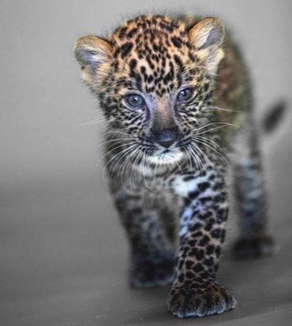 Olivier, le léopard recueilli au zoo-refuge de la Tanière