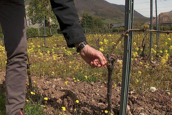 Les producteurs de vins craignent le retour du gel en milieu de semaine en Savoie.