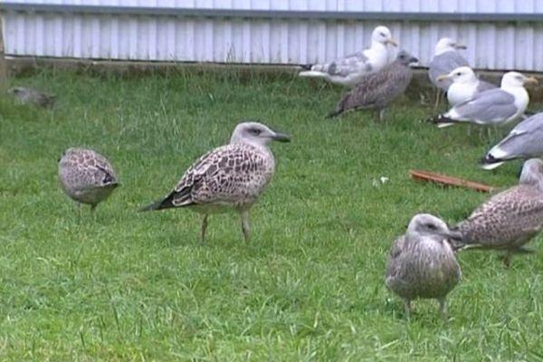 Les jeunes goélands argentés sont recueillis au centre de sauvegarde du CHENE à Allouville-Bellefosse