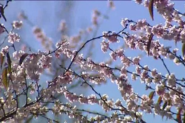 Un prunus en fleur le 18 novembre sur le campus des Cézeaux de Clermont-Ferrand. Une fleuraison exceptionnelle, elle a lieu habituellement au printemps.
