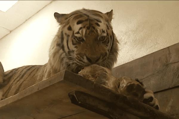 Oural, le tigre