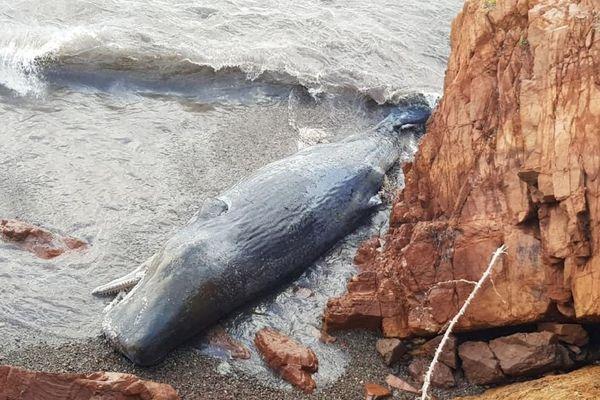 Un cachalot d'une douzaine de mètres s'est échoué lundi 26 novembre à l'entrée du port de Galeria (Haute-Corse)