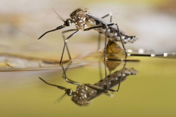 C'est le moment de chasser le moustique tigre de nos habitats et jardins.