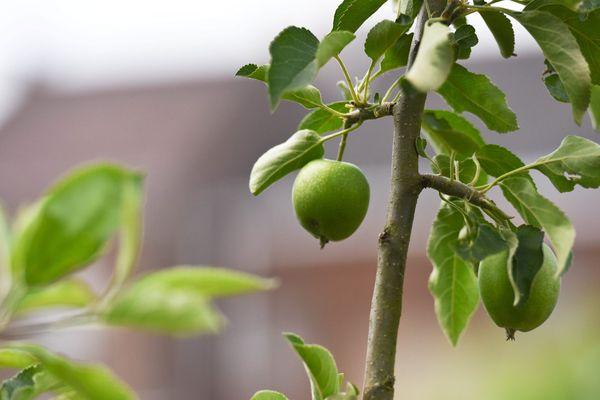 800 arbres fruitiers devraient être plantés en un an dans le Bas-Rhin.