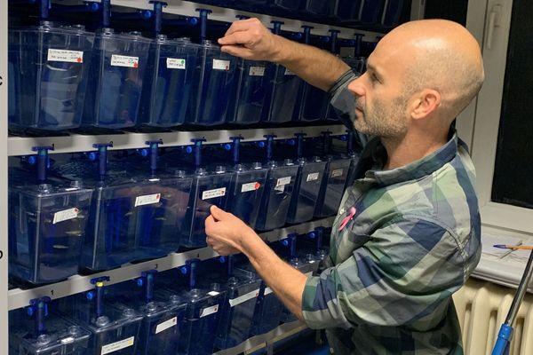 L'équipe de Jacky Goetz travaille sur l'embryon de poisson-zèbre, un animal transparent qui permet d'observer in vivo et en temps réel, par microscopie, le déplacement des cellules rendues fluorescentes.