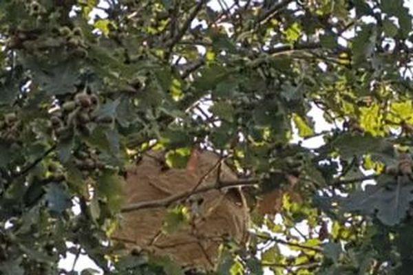 Le nid de frelons asiatiques dans le chêne de Patrice Legout.