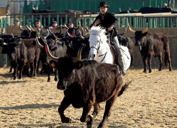 Le tri de bétail, une activité spectaculaire à découvrir sur le salon 2020.