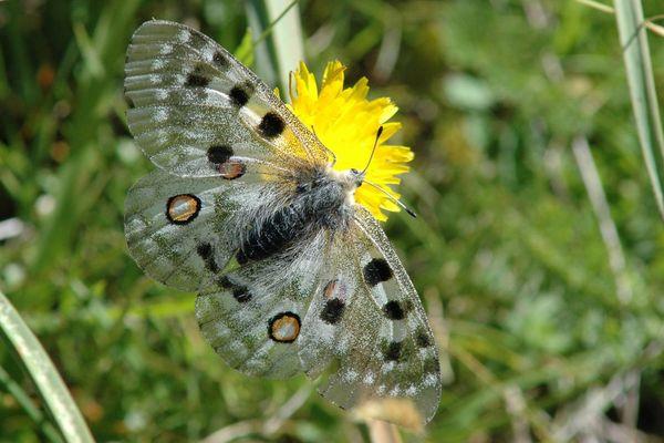 L'Apollon, magnifique papillon, menacé dans son habitat dans les Pyrénées, vallée d'Ossau principalement.