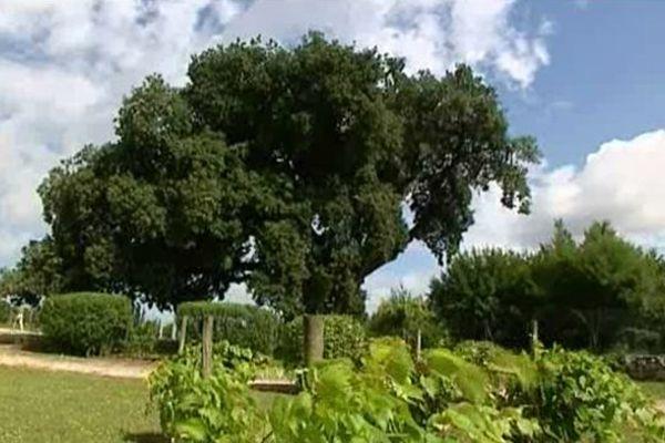 Ce chêne vert aurait été planté en 1494 pour la naissance du roi François 1er à Cognac.