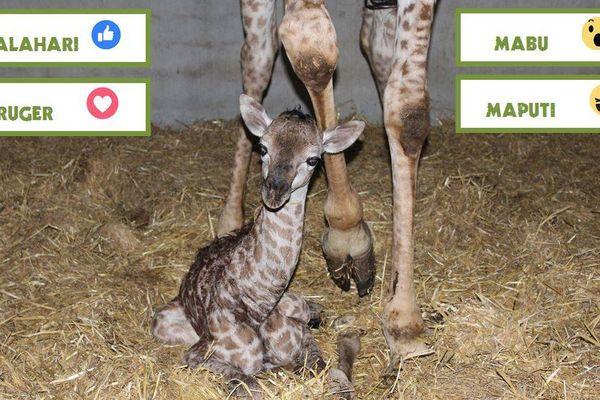 Le bébé girafon de Planète sauvage attend son prénom bien au chaud.