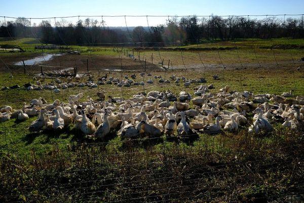 Des canards dans une ferme du sud-ouest pour la production de Foie Gras.
