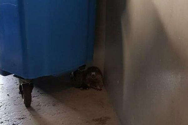 La marmotte était dans un local à poubelles.