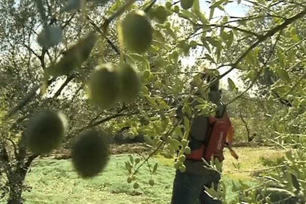 La récolte des olives a démarré dans le Gard. Octobre 2015.