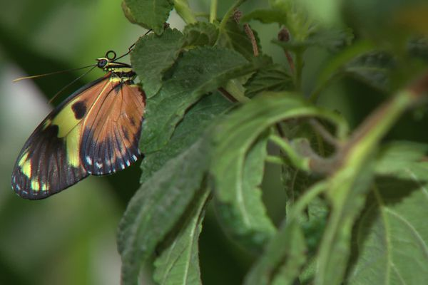 Le Parc aux Oiseaux de Villars-les-Dombes (Ain) ouvre le 05 juillet 2021 sa serre aux papillons tropicaux : 500 spécimens en vol libre autour des visiteurs.