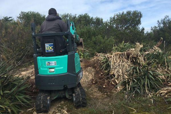 Des pelles mécaniques à l'oeuvre pour arracher les yuccas sur les dunes du Bois Plage sur l'île de Ré.