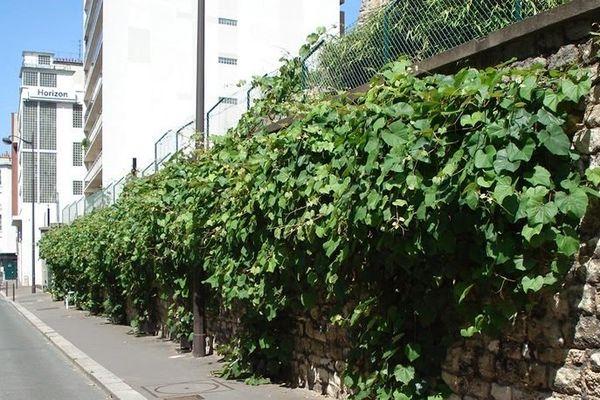 Mur végétalisé (câbles acier et plantes volubiles), rue de la Tombe Issoire  Paris 14e