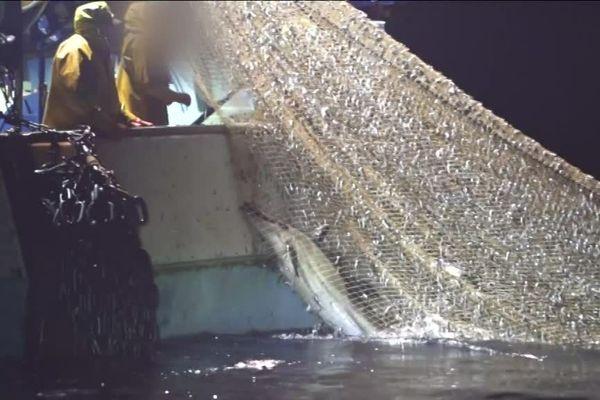 L'ONG Sea Shepherd a filmé un dauphin pris dans les filets d'un chalutier vendéen au large de Lacanau dans le golfe de Gascogne dans la nuit de mardi à mercredi.