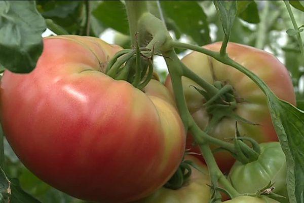 La Générose, un enouvelle variété de tomates bio développée par Pronatura à Pernes-les-Fontaine.