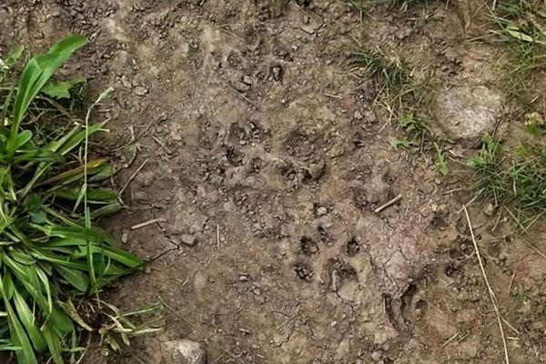 Dans le nord de la Dordogne les éleveurs sont de plus en plus persuadés que les attaques de troupeaux ne sont pas l'oeuvre de chiens errants, mais bien de loups... en attendant, aucune preuve formelle n'a attesté sa présence récente (images d'archive)