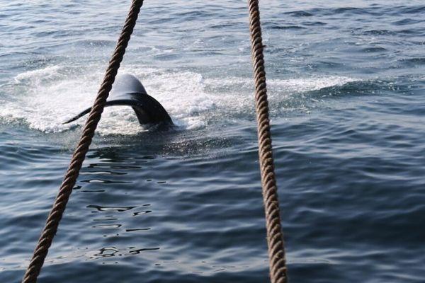 Des baleines : un spectacle magnifique tout autour de l'Hermione dans les eaux de la côte Est américaine.