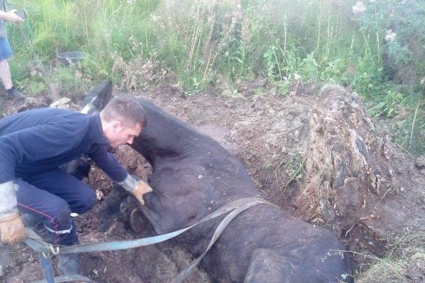 L'animal a dû être sanglé et hissé hors du trou à l'aide d'un tracteur