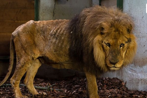 Le lion Jon a été sauvé d'un cirque par une association de défense des animaux.