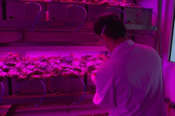 Dans ce laboratoire, les plantes reçoivent un gène particulier et incubent pendant une semaine.