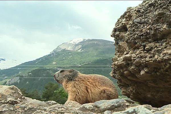 Une marmotte en pleine nature