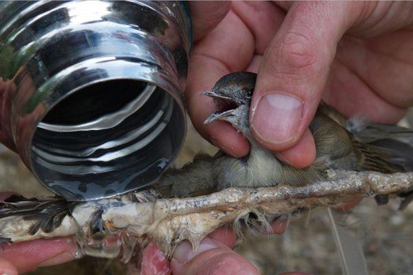 L'association One Voice a saisi le conseil d'Etat pour faire interdire la chasse à la glu en France.