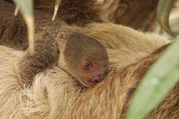 Un bébé paresseux est né le 9 octobre à Biotropica, une naissance rarissime en France.