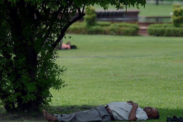 Pour se protéger de la chaleur, un arbre à sieste est une solution.