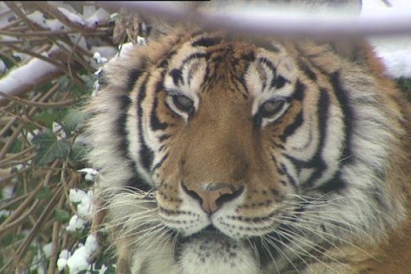 Même pas froid. S'il y en a un qui se frotte le pattes, c'est bien lui, le tigre de Sibérie.
