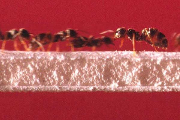 Travaux chercheurs CNRS: fourmis courant sur un pont