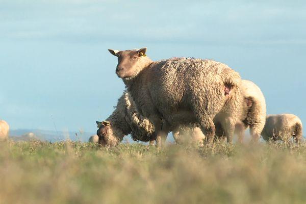 """L'élevage d'agneaux """"Prés-salés du Mont-Saint-Michel"""" est soumis à un strict cahier des charges"""