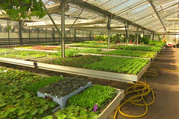Ce ne sont pas des salades, mais des milliers de plantes décoratives qui sont préparées chaque année dans les serres municipales de Périgueux