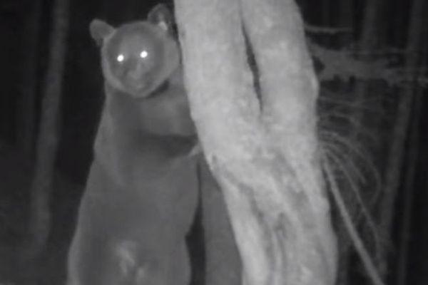 Sorita, l'une des rares photos des ourses introduites en ocobre 2018. C'est donc l'autre femelle Claverina qui serait à l'origine de l'attaque de brebis à Larrau.