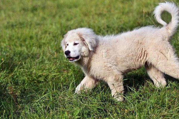 Les chiens patous sont les protecteurs des troupeaux.